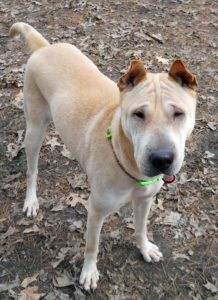 Mindy is a Shar Pei mix